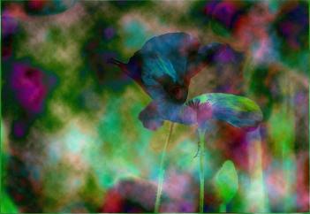 psychedelic-poppys-fay-pellew